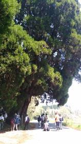 拝所の大杉1