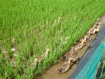 アイガモ農法による水田